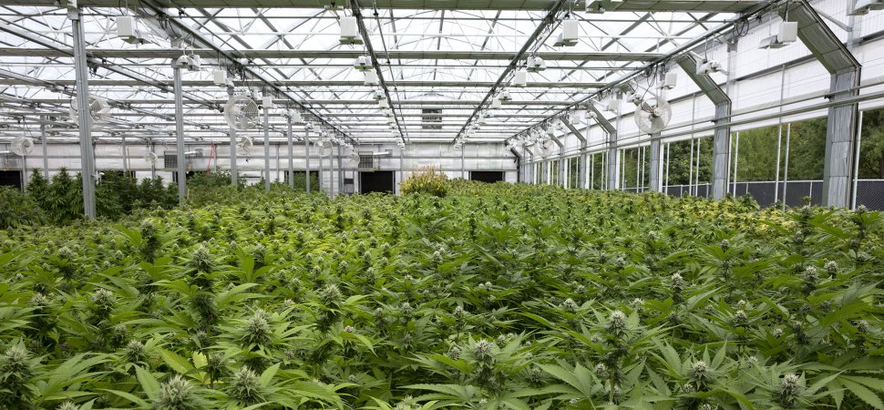 Marijuana is the new crop for B.C. produce company Village Farms